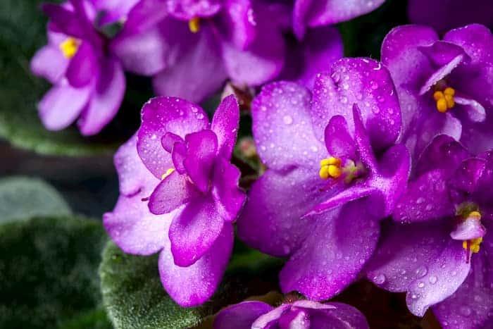 Afrika Menekşesi Çiçekleri