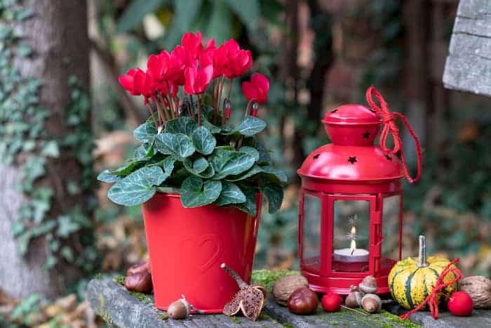 Kırmızı Saksılı Sıklamen Çiçeği