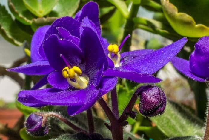 Afrika Menekşesi Çiçeği
