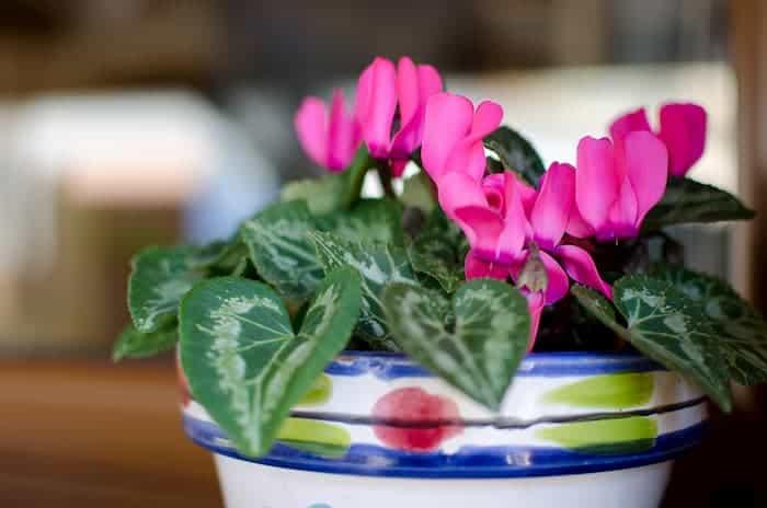 Seramik Saksılı Sıklamen Çiçeği