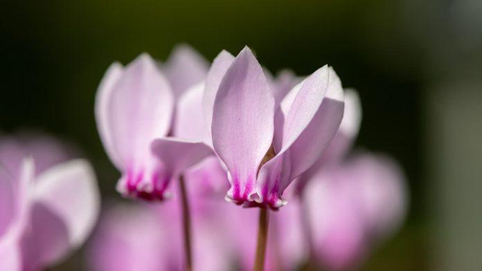 Siklamen Çiçeği