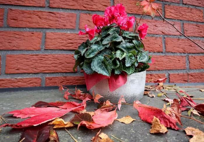 Tuğla Duvar Önünde Sıklamen Çiçeği