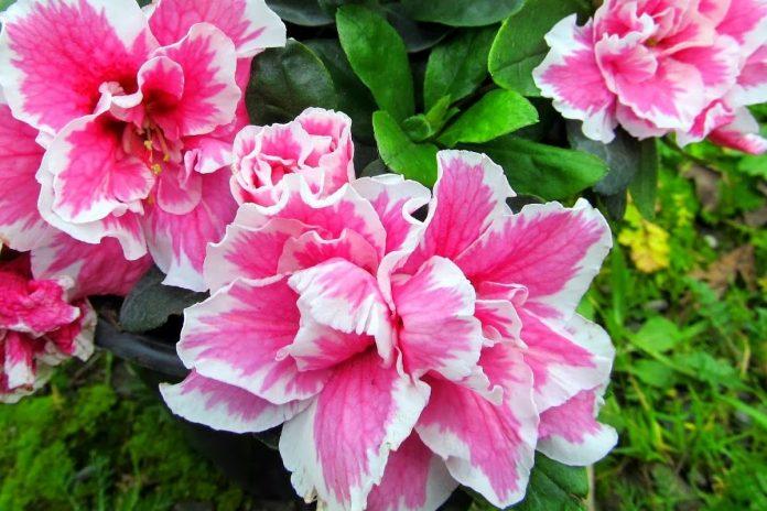 Açelya Çiçeği Bakımı ve Yetiştirilmesi