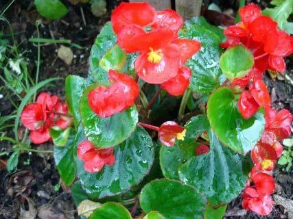 Begonya Çiçeği Bakımı ve Çeşitleri