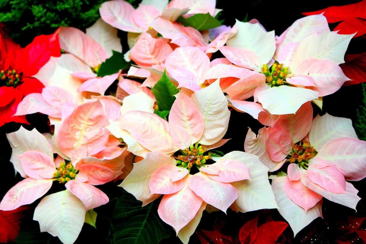 Beyaz Yapraklı Atatürk Çiçeği