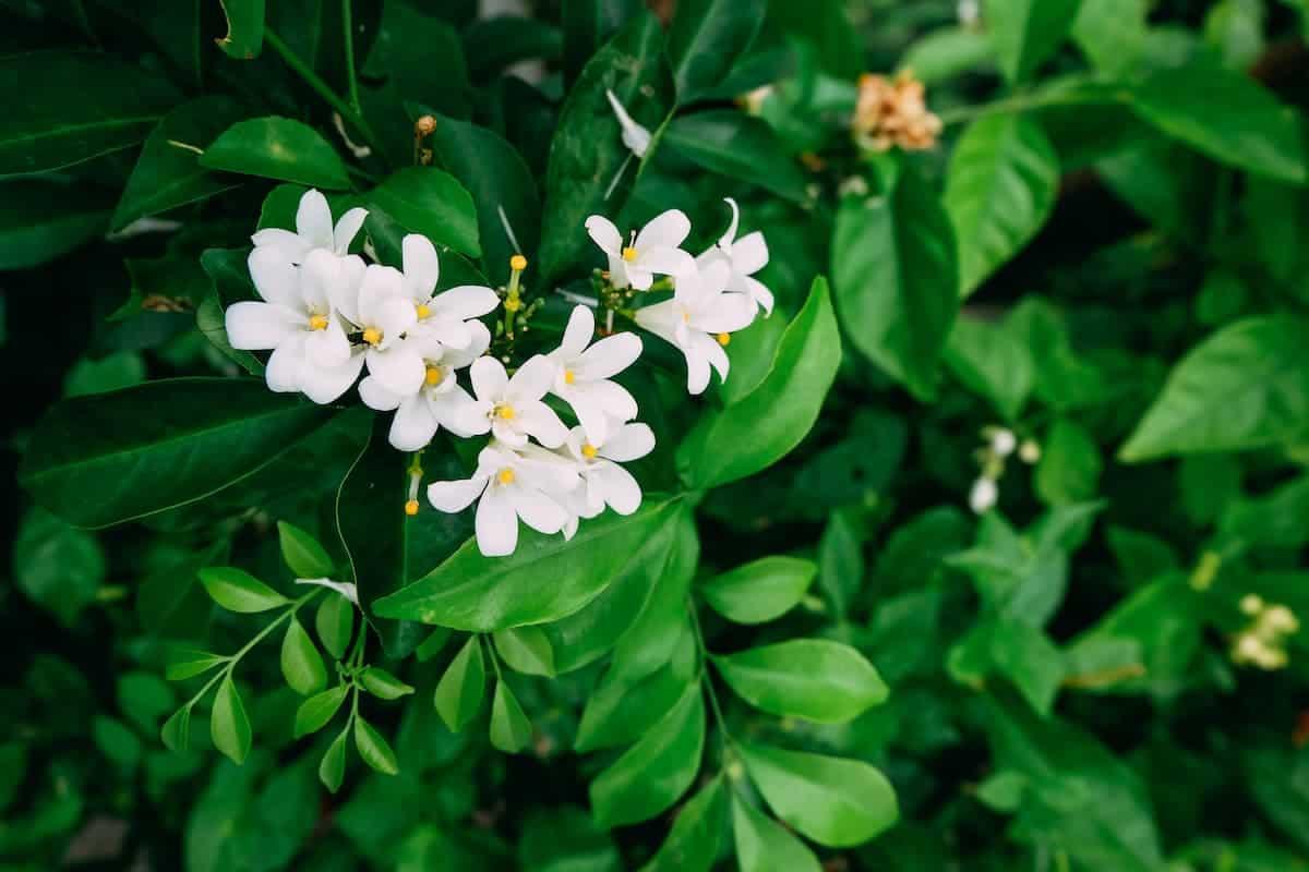 Çiçek Açmış Yasemin