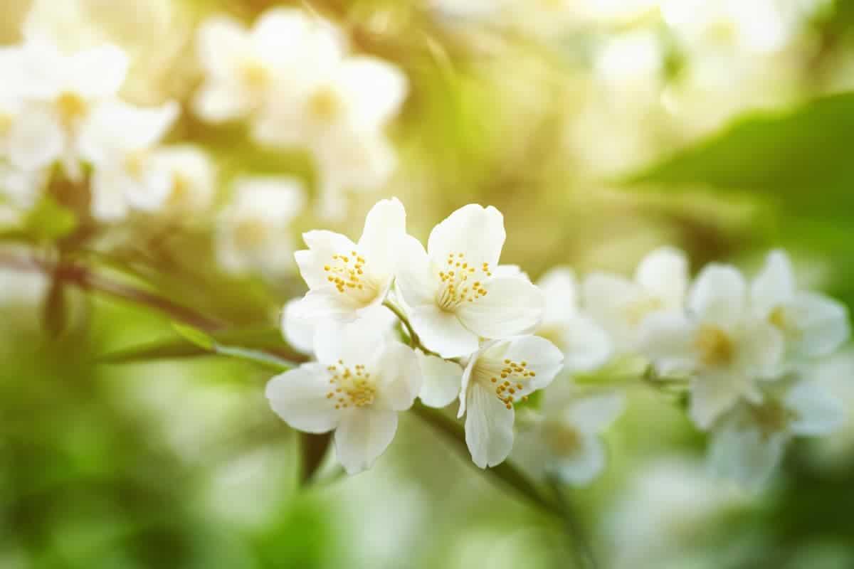 Yasemin Çiçeği Bakımı