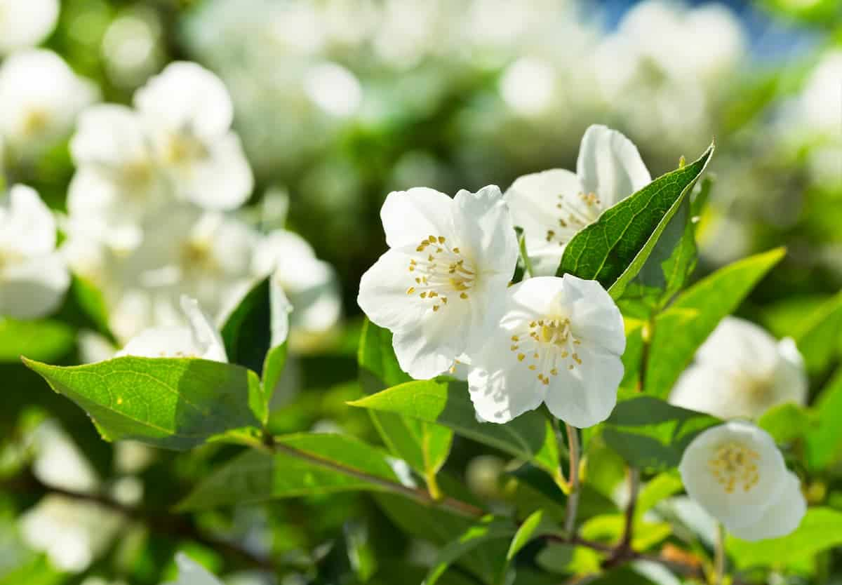 Yasemin Çiçeği Çoğaltılması