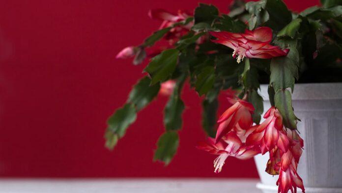 Kırmızı Yılbaşı Çiçeği