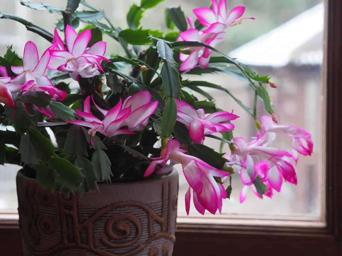 Mor Yılbaşı Çiçeği