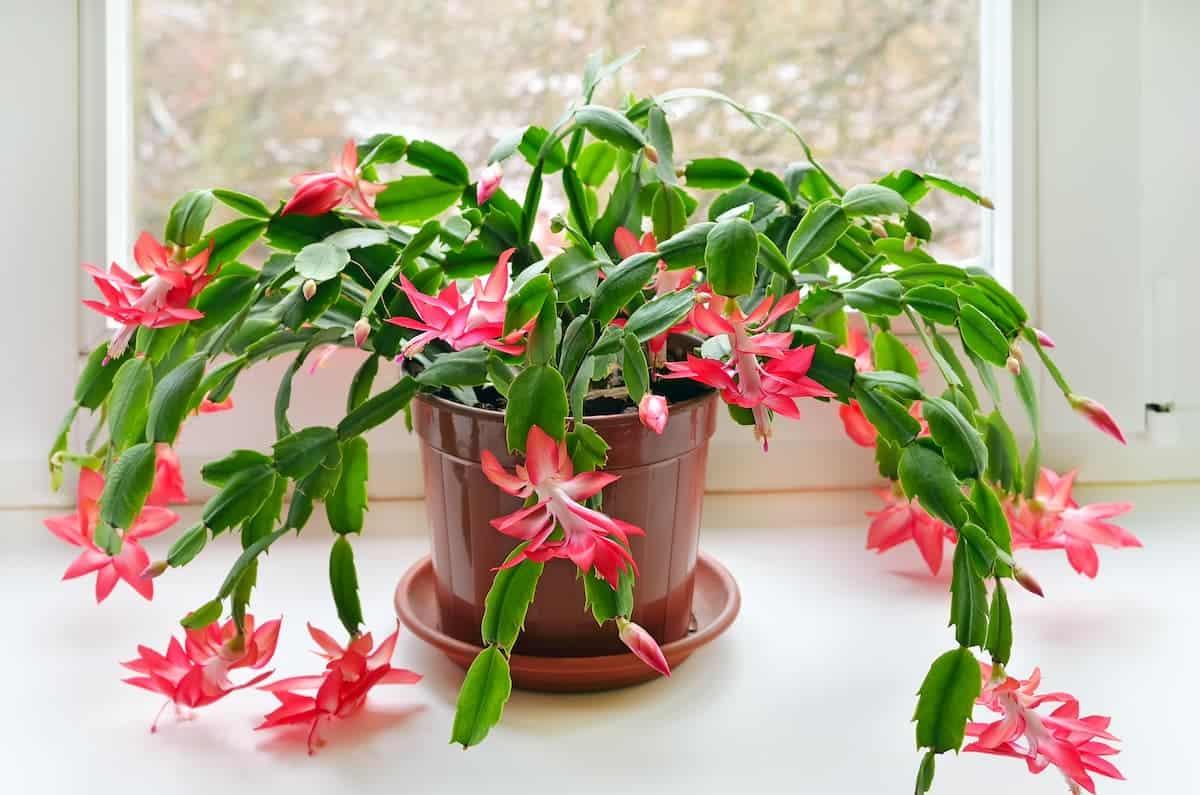 Pembe Yılbaşı Çiçeği