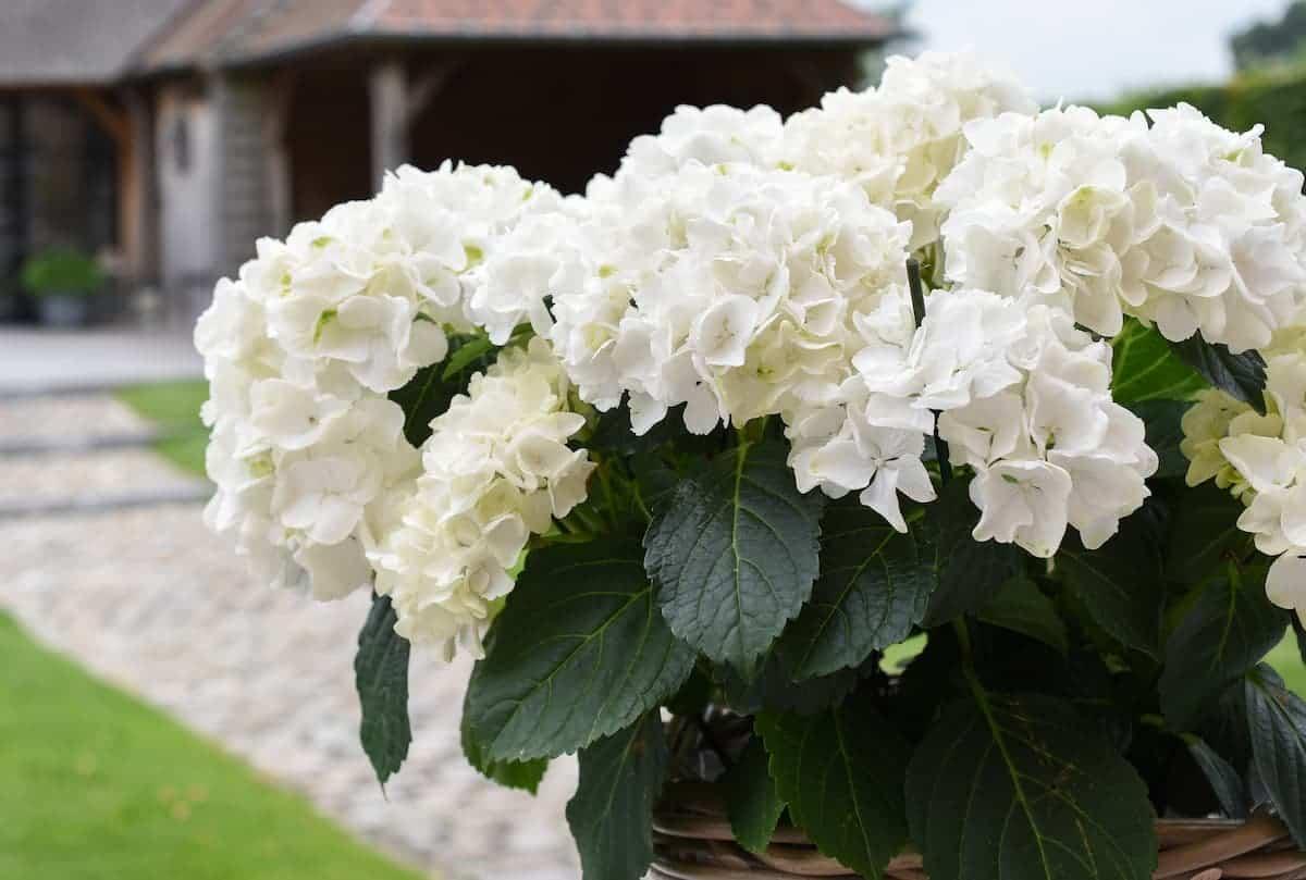 Beyaz Ortanca Çiçeği