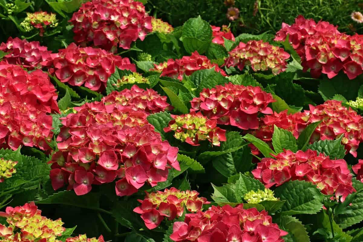 Kırmızı Ortanca Çiçeği