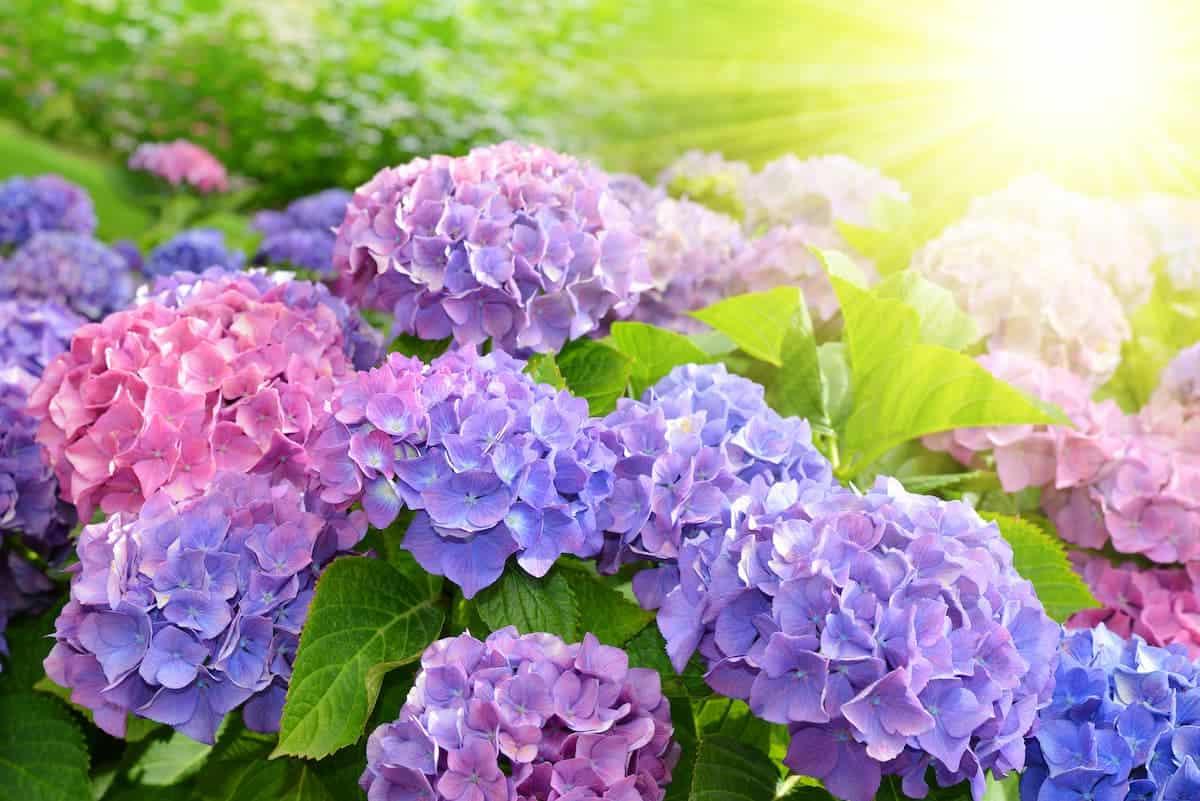 Mavi Ortanca Çiçekleri