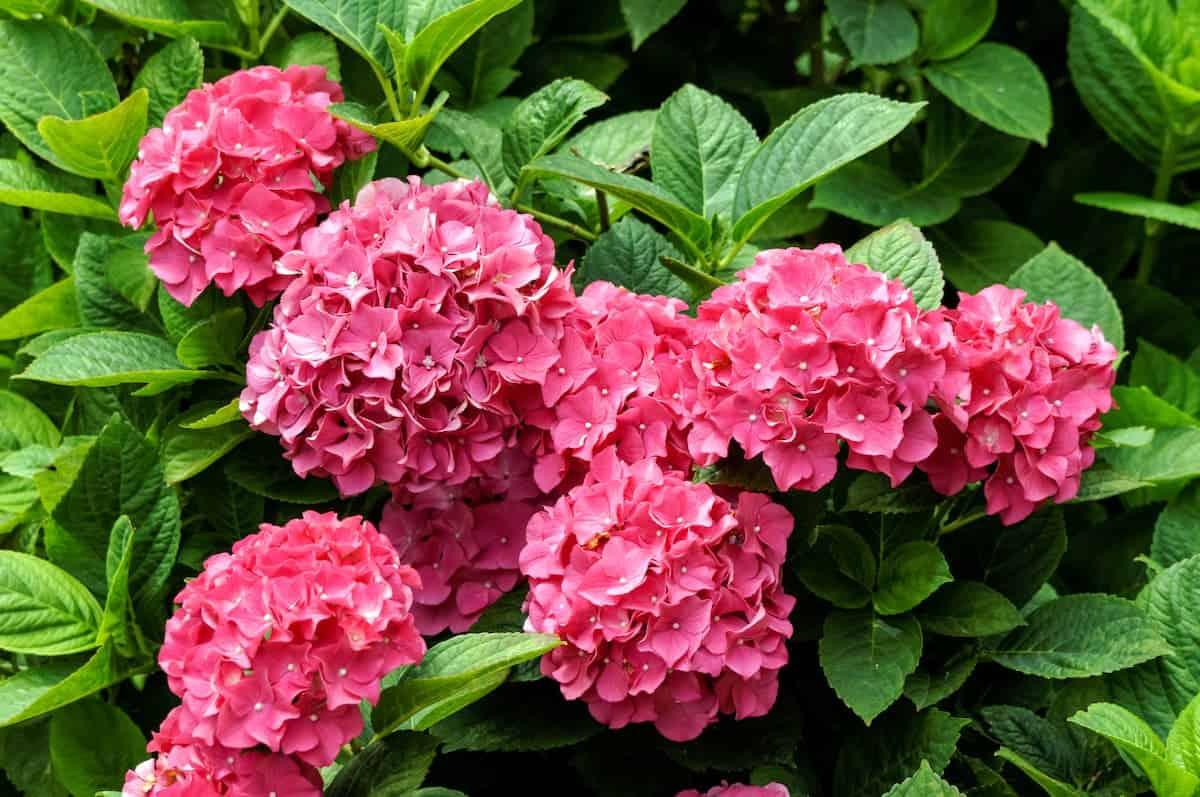 Pembe Ortanca Çiçeği