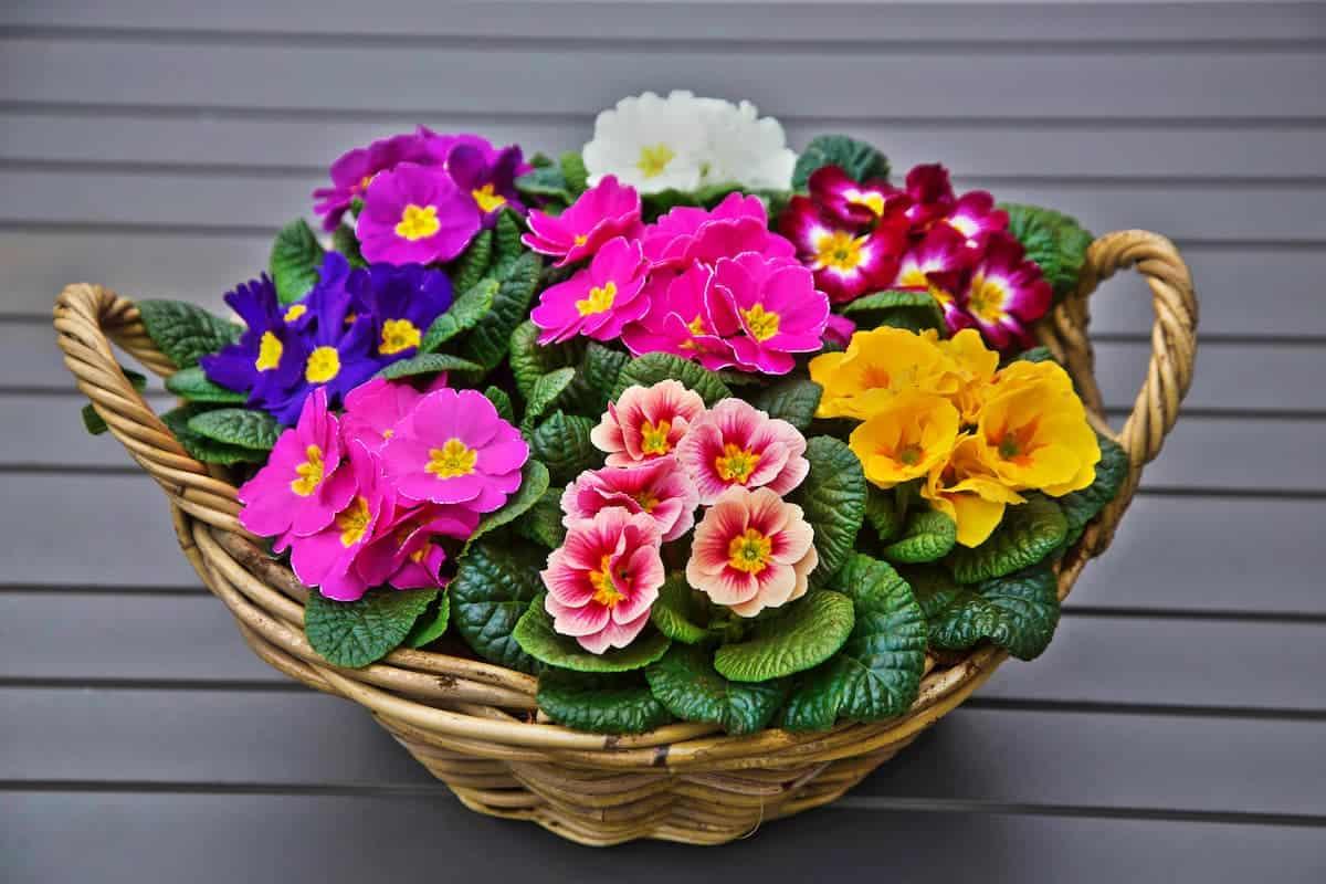 Çuha Çiçeği Bakımı ve Faydaları