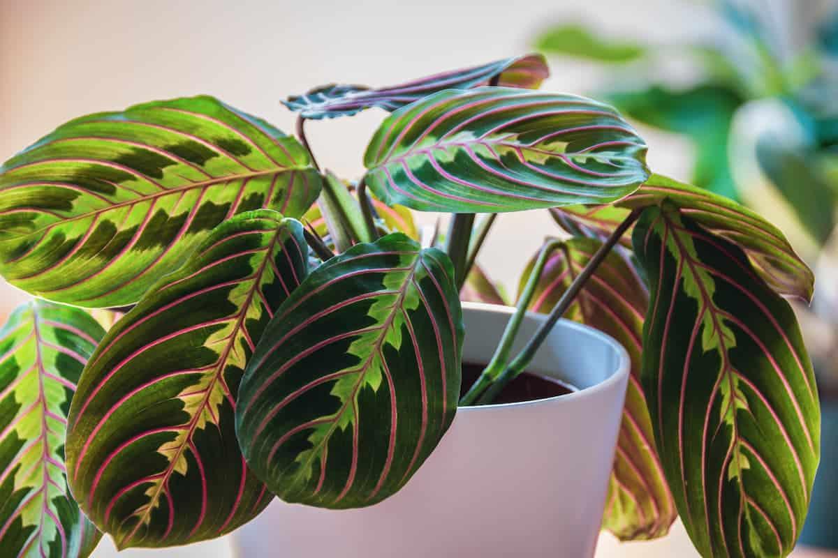 Maranta Bitkisi Bakımı ve Yetiştirilmesi