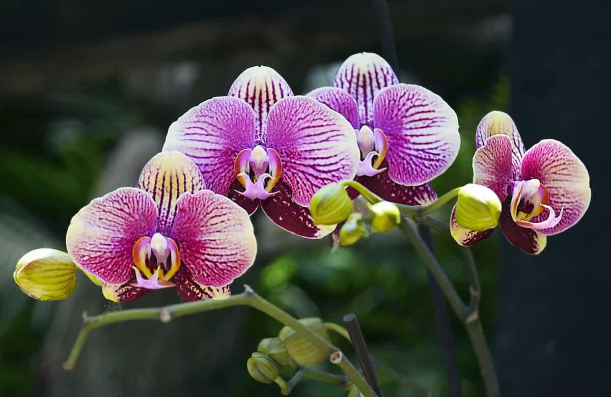 Orkide Yakın Çekim