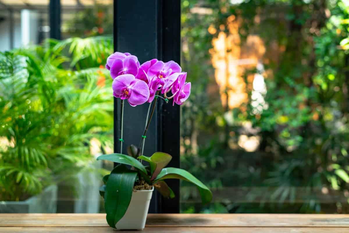 Pencere Önünde Orkide Çiçeği