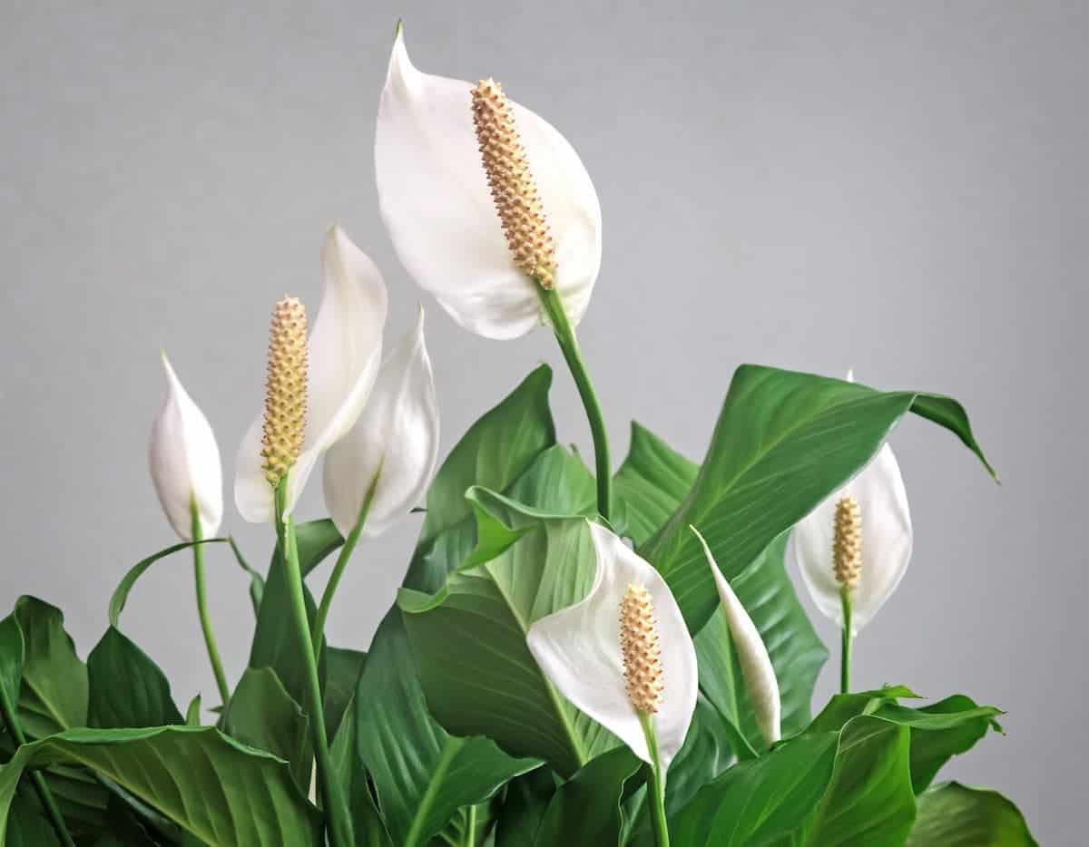Barış Çiçeği Bakımı