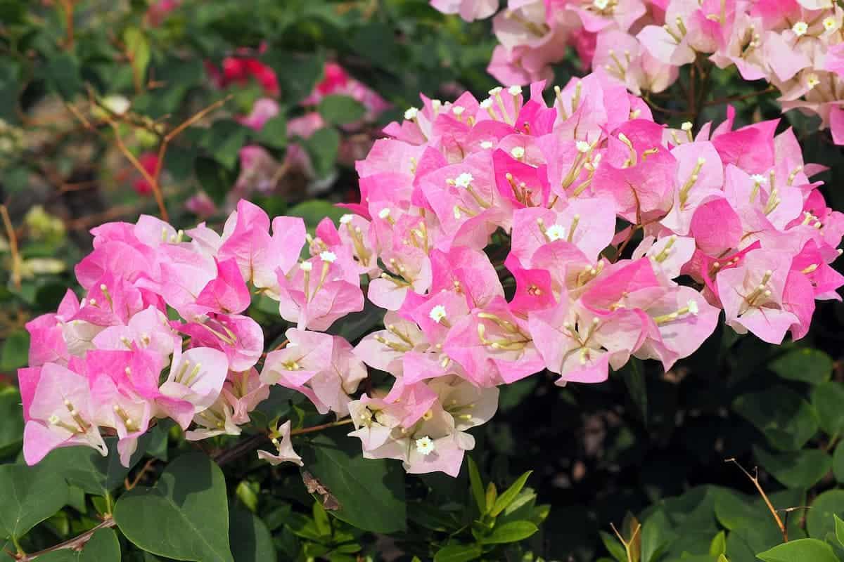 Begonvil Çiçeği Bakımında Püf Noktalar