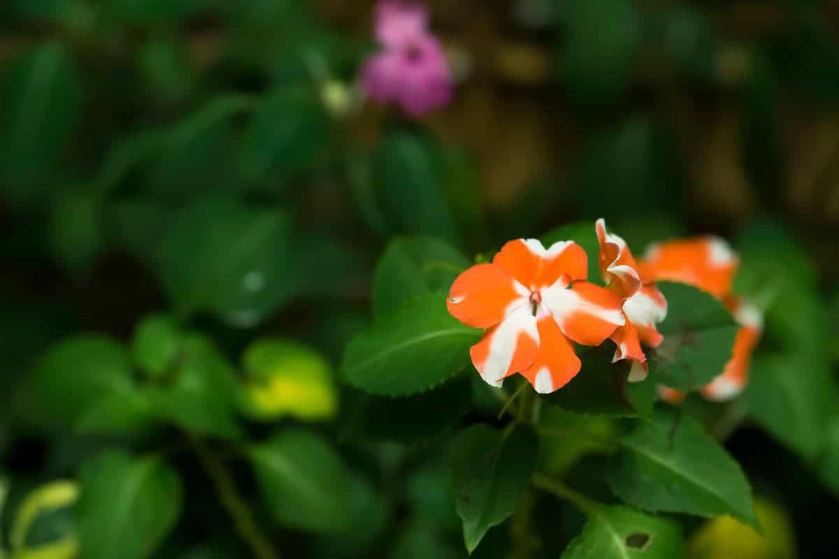 Cam Güzeli Çiçeği ve Bakımı