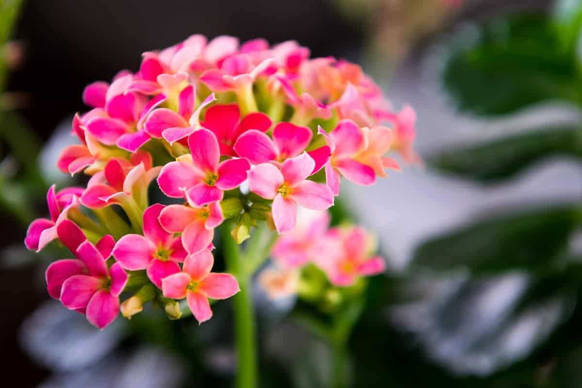 Kalanşo (Kalanchoe) Çiçeği ve Bakımı