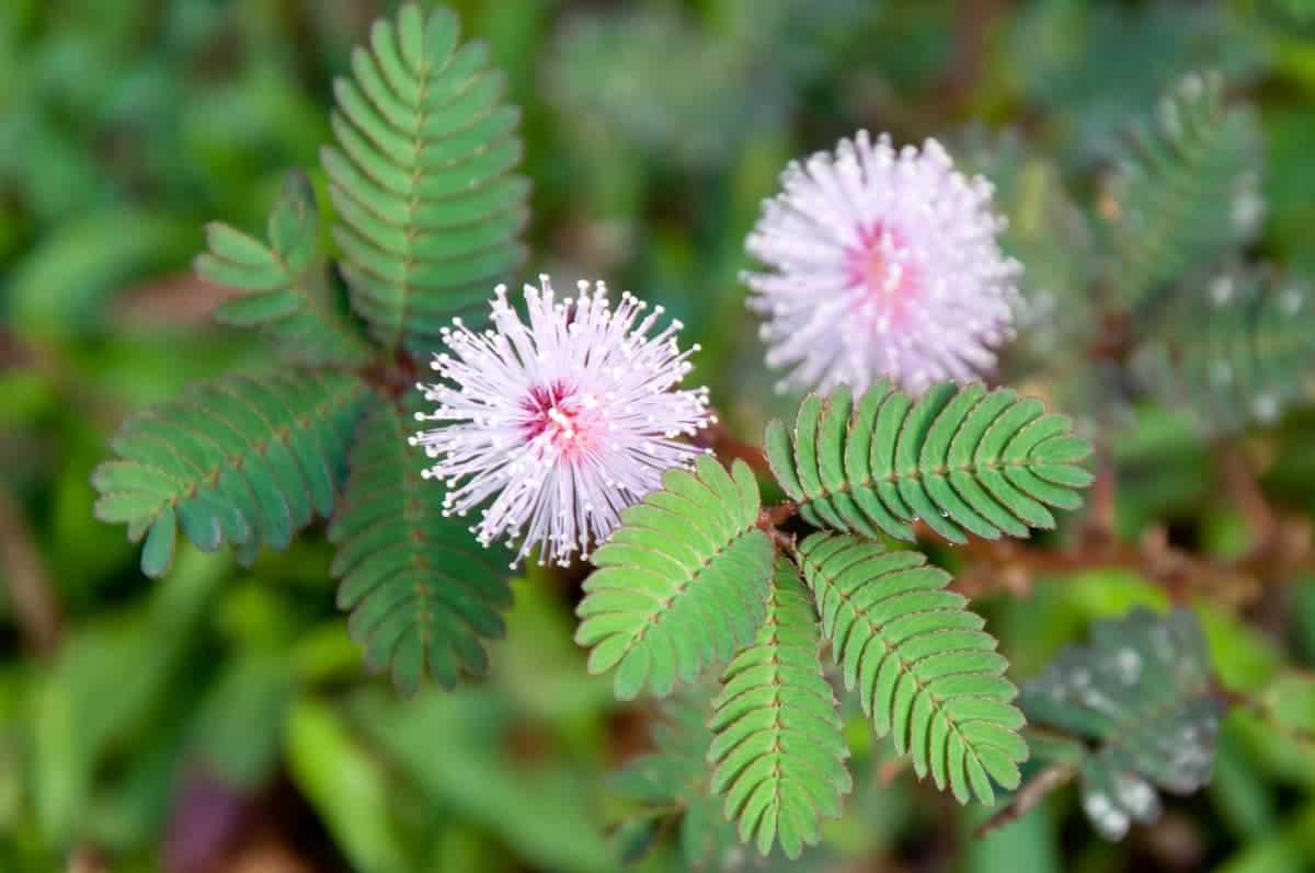Küstüm Çiçeği Bakımı ve Özellikleri