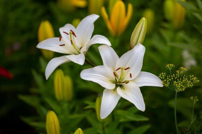 Lilyum Çiçeği (Zambak) Bakımı