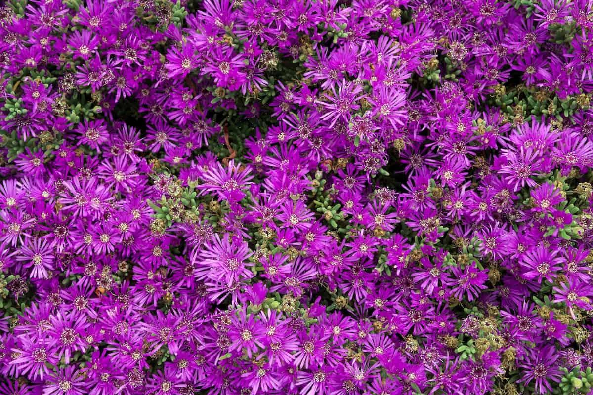 Acem Halısı Çiçeği Bakımı ve Çoğaltma