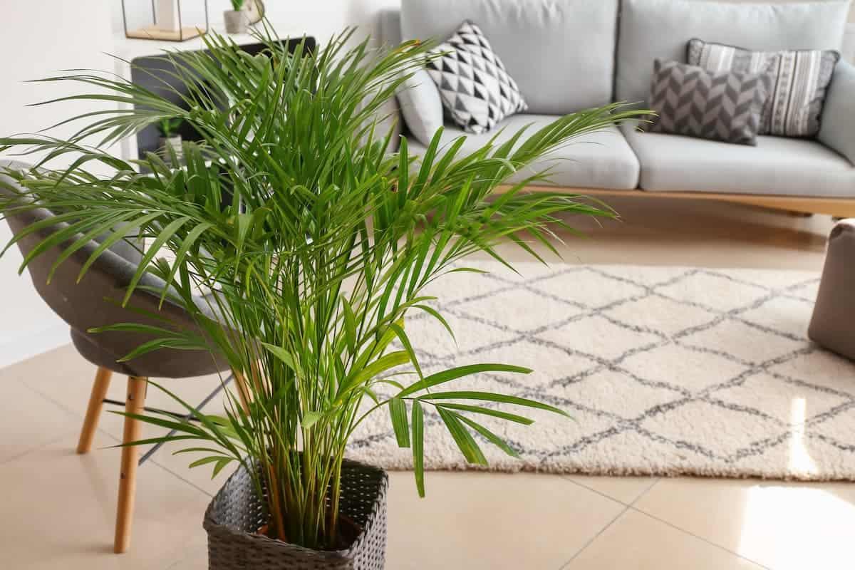 Areka Palmiyesi Bakımı Püf Noktaları