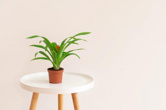 Guzmanya Çiçeği Bakımı ve Anlamı