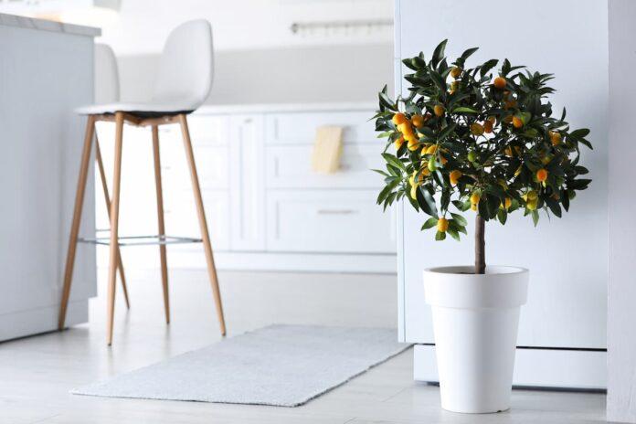 Evde Kamkat Ağacı Yetiştirme