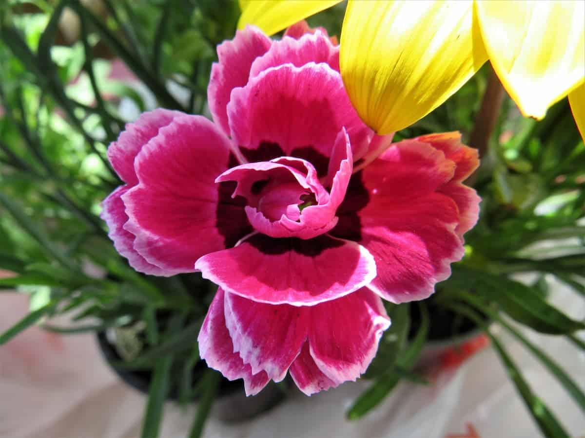 Karanfil Çiçeği Bakımı ve Anlamı