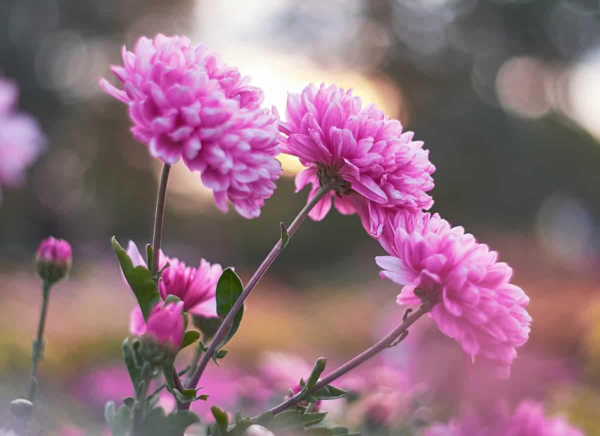 Kasımpatı Çiçeği Bakımı