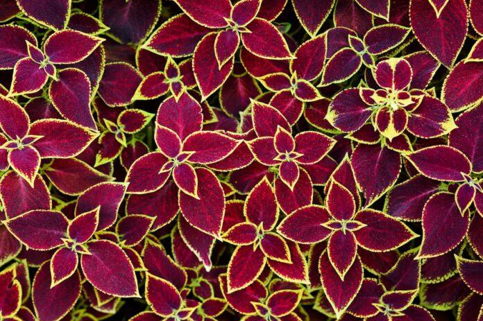 Yaprak Güzeli Çiçeği (Kolyos) Bakımı