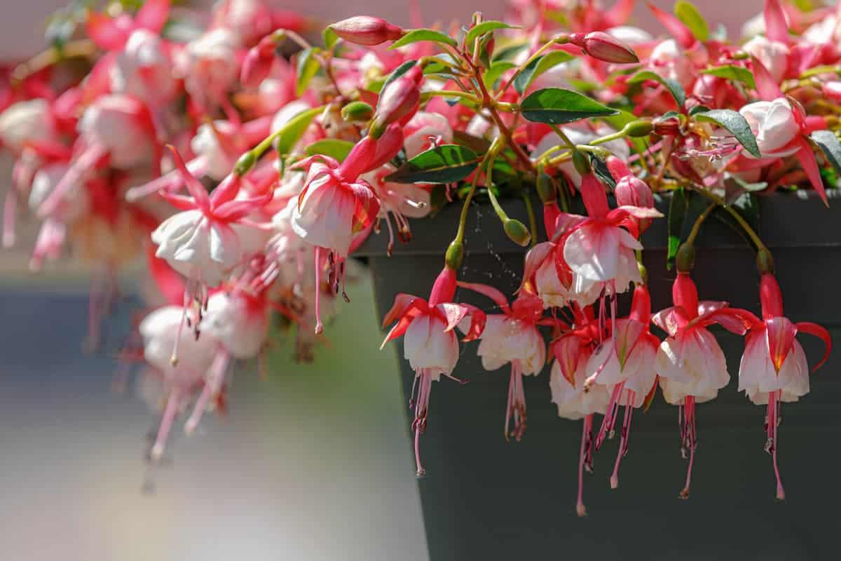 Küpe Çiçeği Özellikleri ve Bakımı