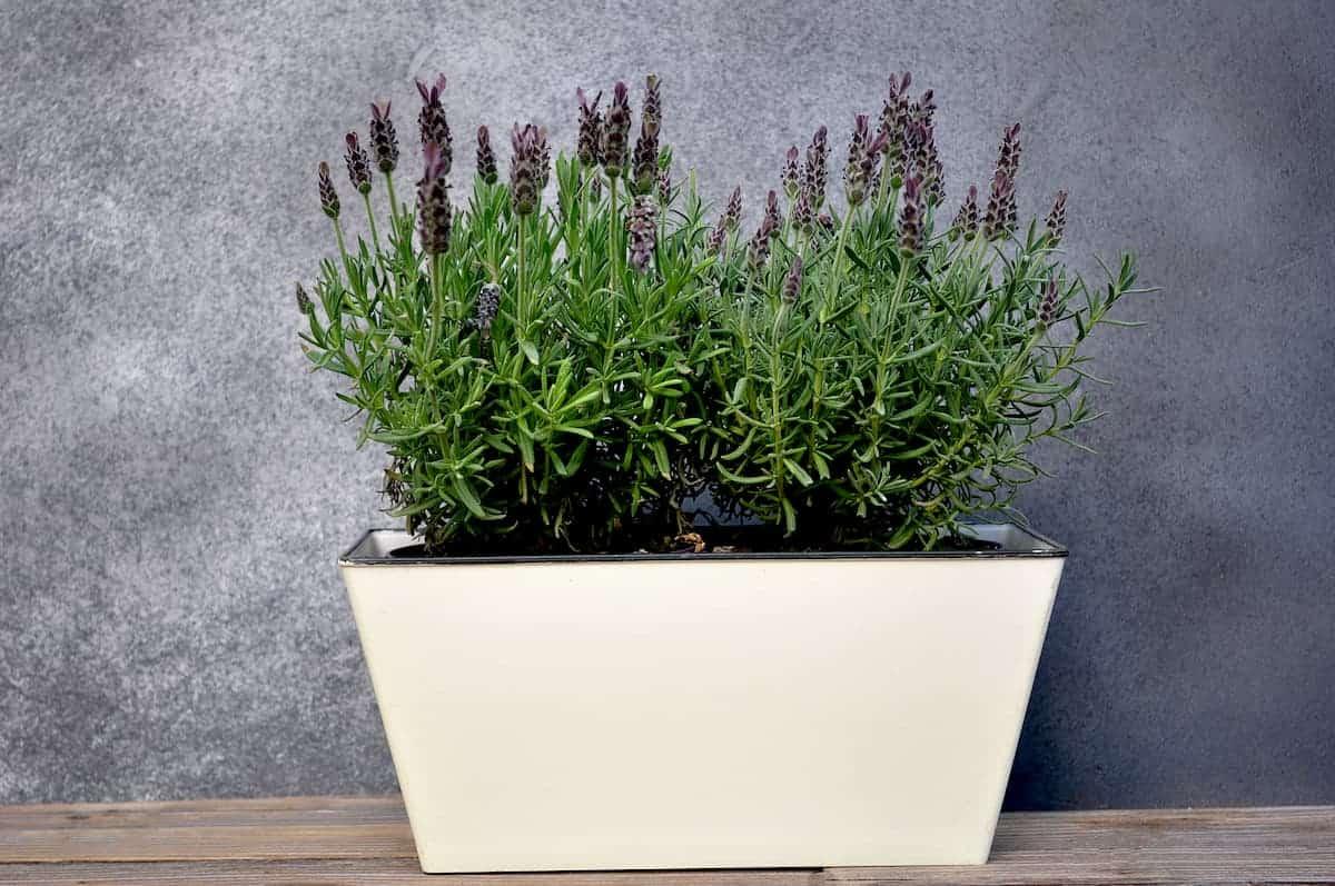 Evde ve Bahçede Lavanta Çiçeği Yetiştirme