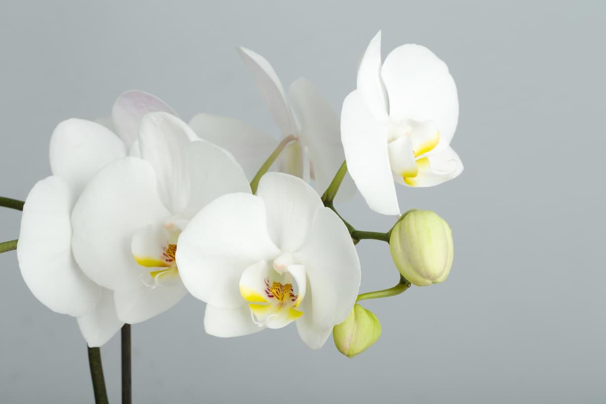 Orkide Hastalıkları ve Çözüm Yolları