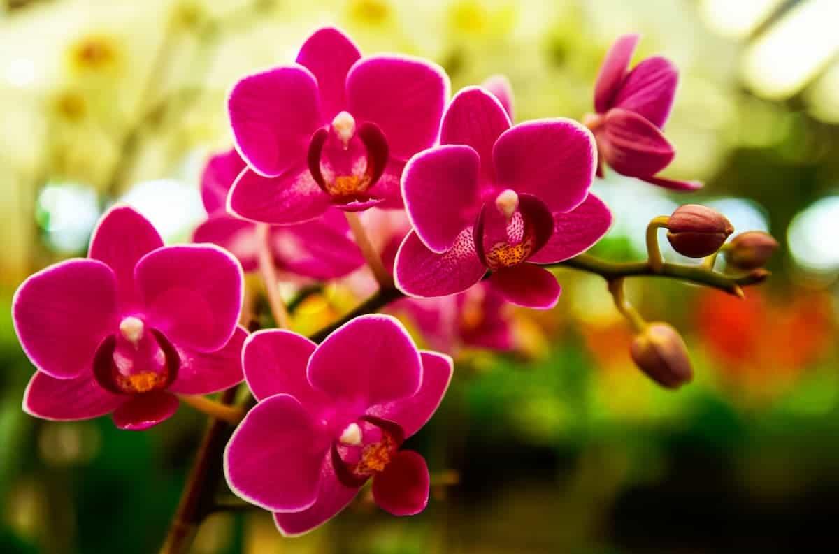 Orkide Hakkında Sık Sorulan Sorular