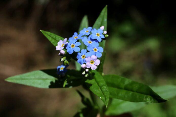 Unutmabeni Çiçeği Bakımı ve Hikayesi