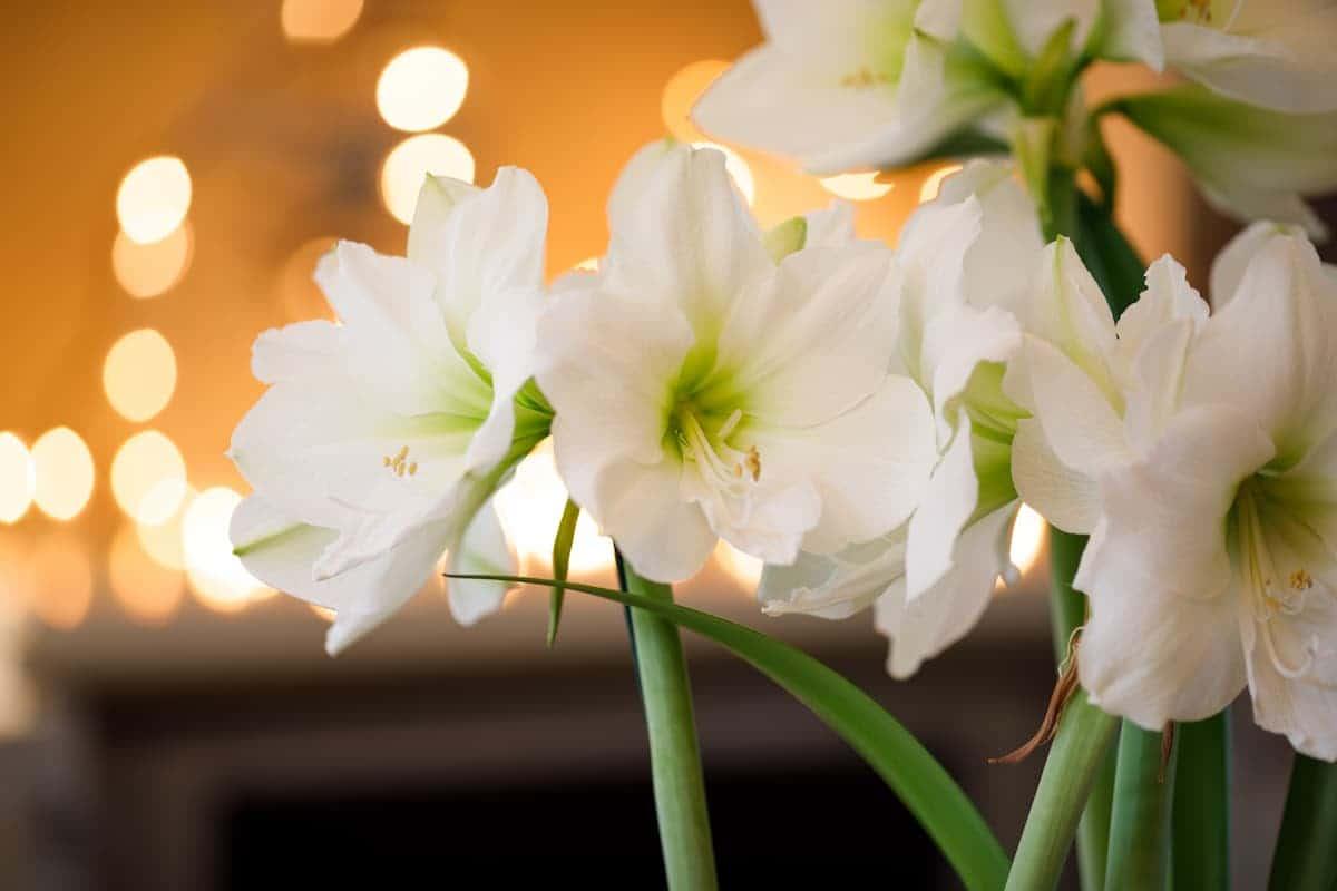 Amaryllis (Güzel Hatun Çiçeği) Bakımı