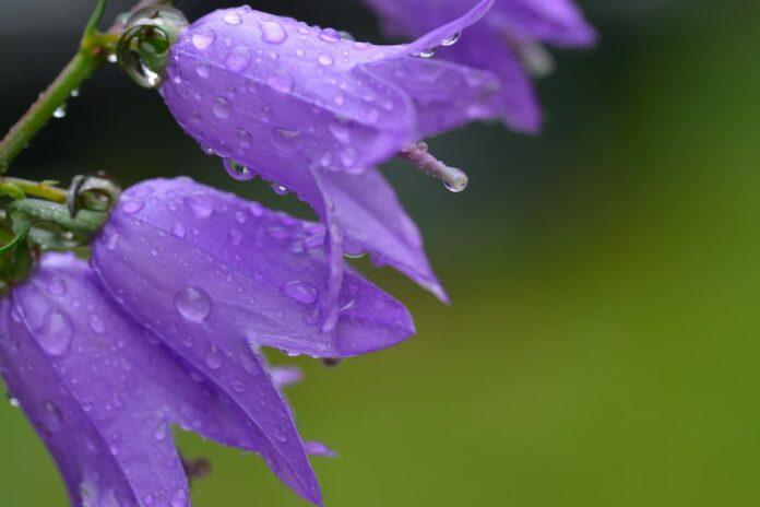 Çan Çiçeği (Campanula) Bakımı