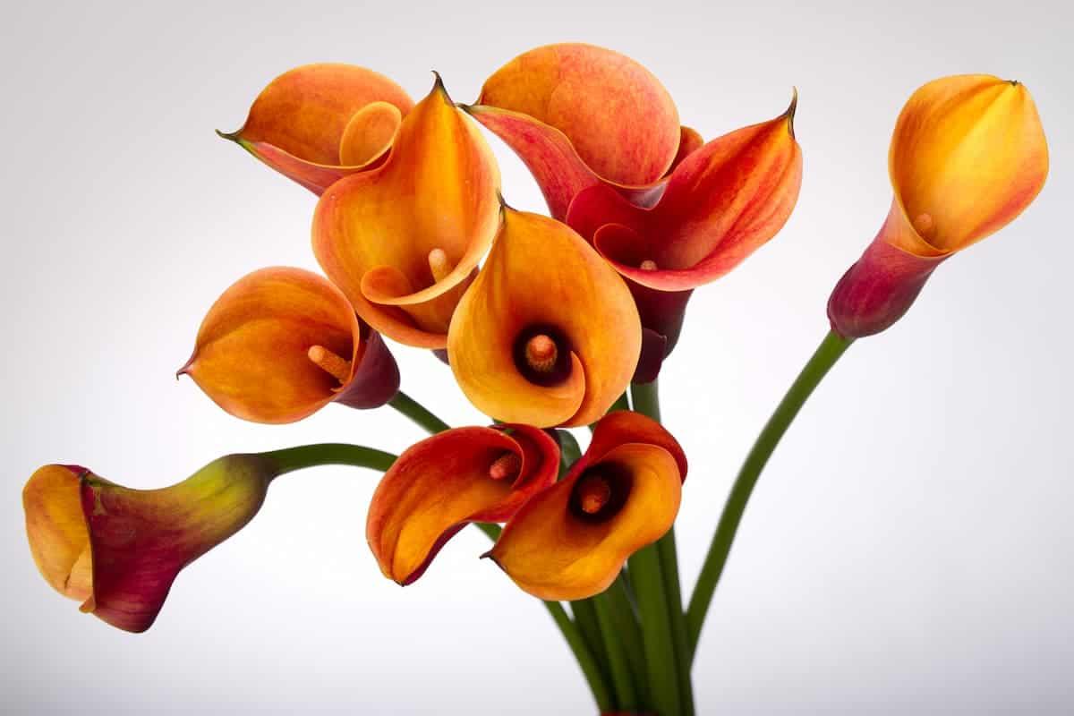 Gala Çiçeği Bakımı