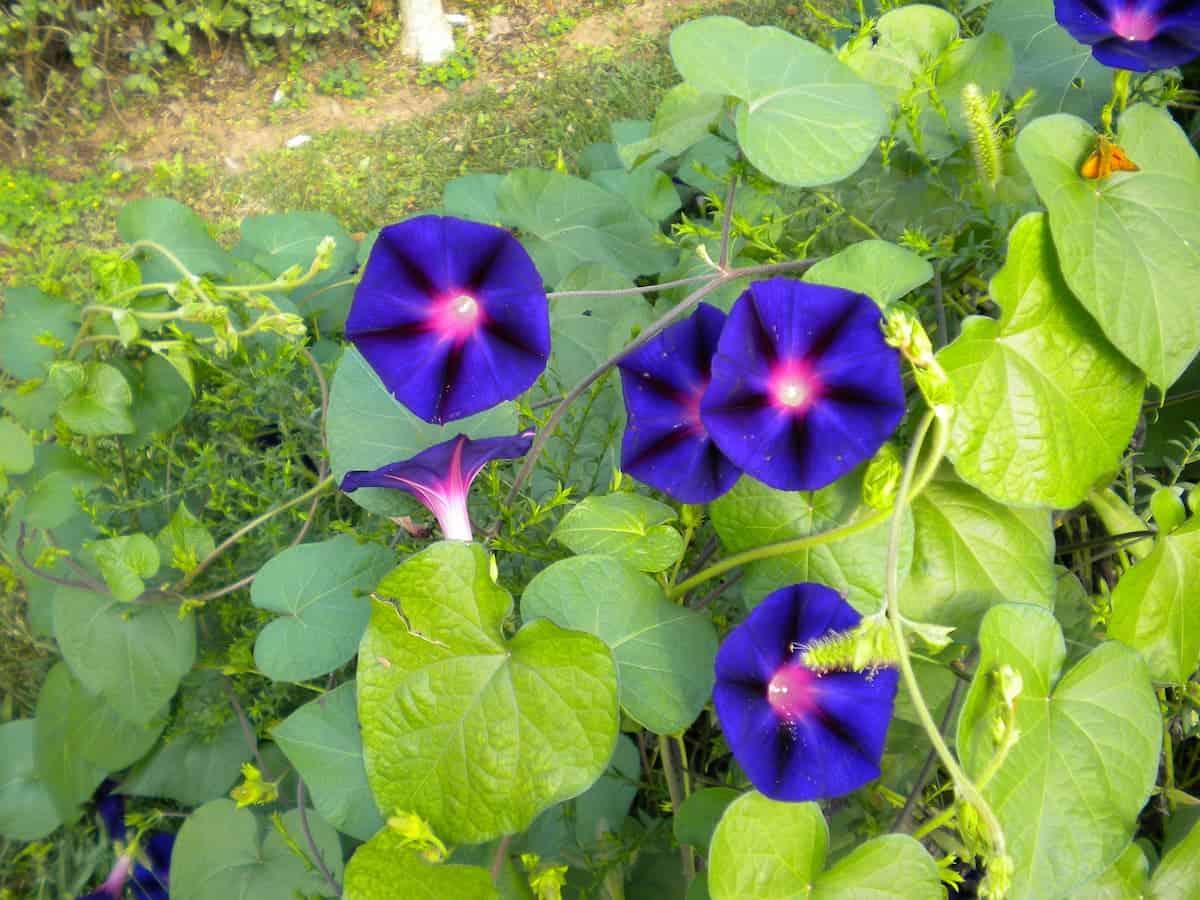 Kahkaha Çiçeği (Gündüz Sefası) Bakımı