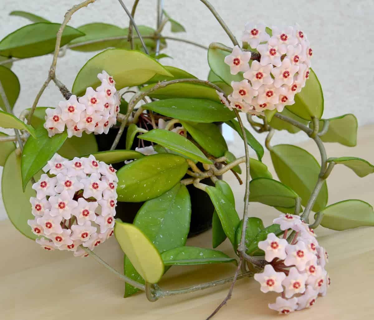 Mum Çiçeği (Hoya) Bakımı ve Çoğaltılması