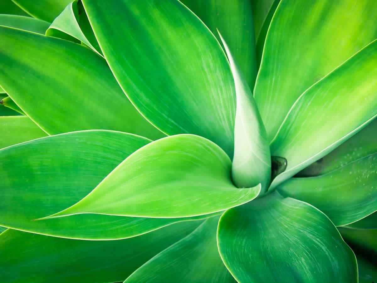Agave Bitkisi Bakımı