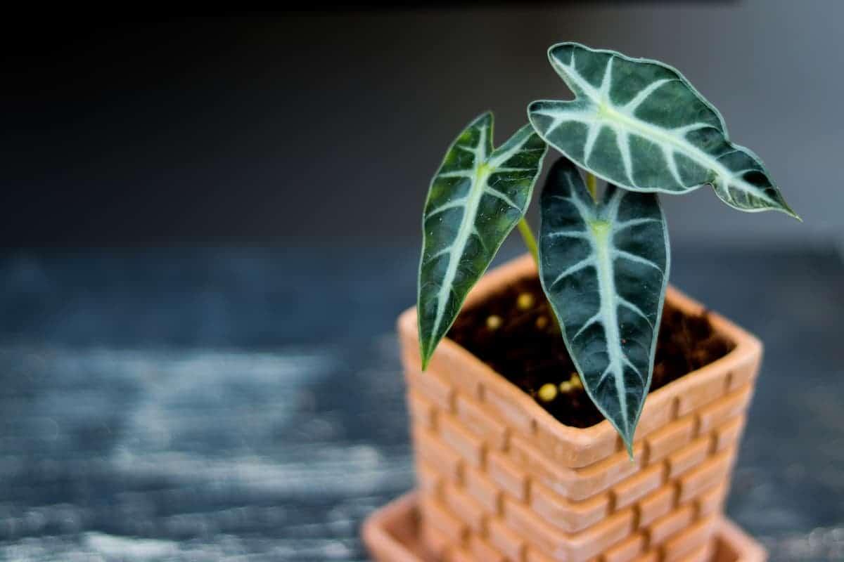 Evde Amazon Fil Kulağı Bitkisi Yetiştirme