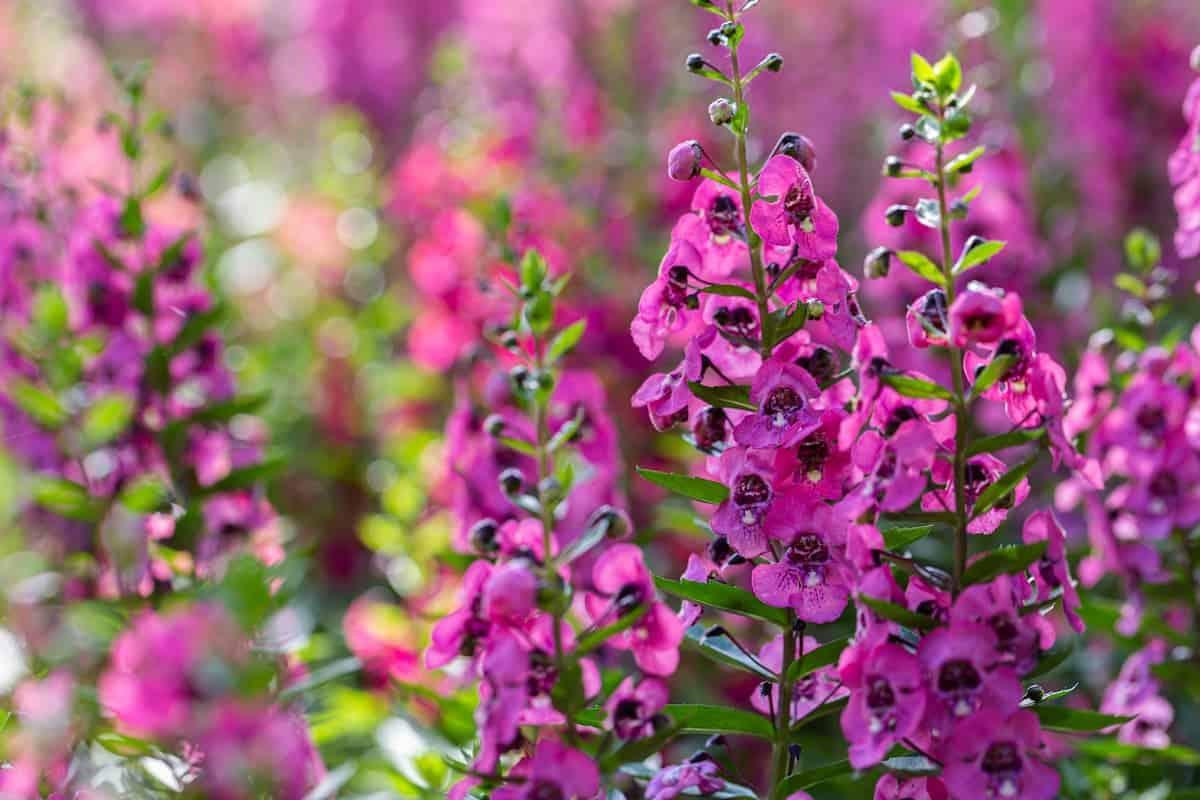 Angelonia Çiçeği Bakımı