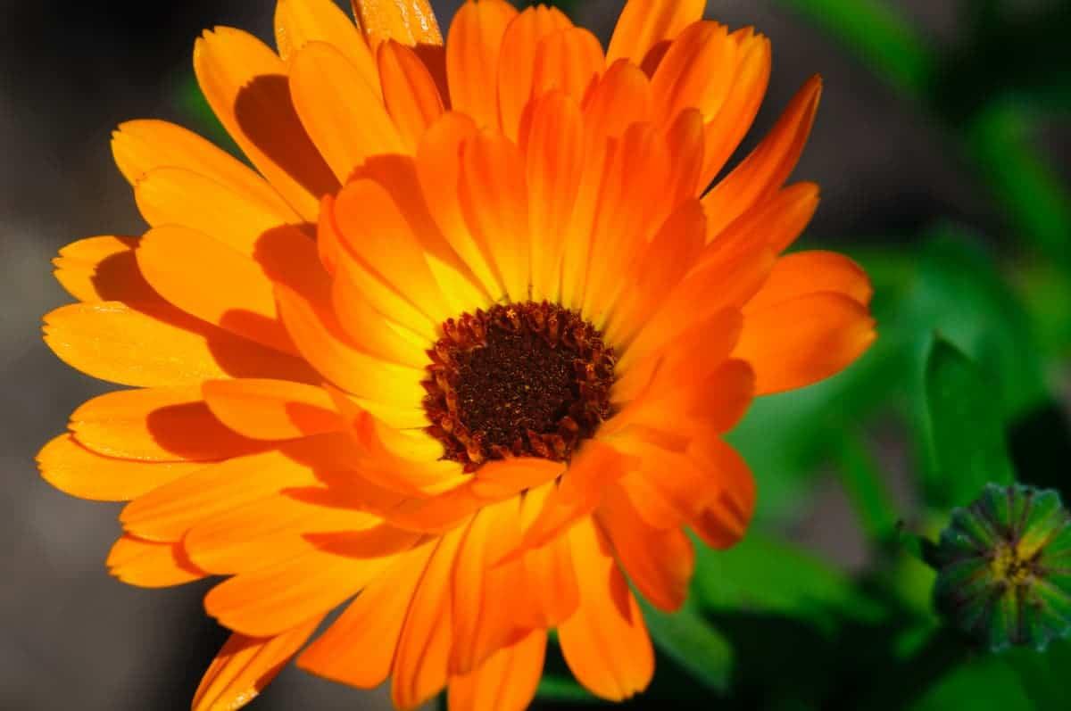Aynısefa Çiçeği Bakımında Püf Noktalar